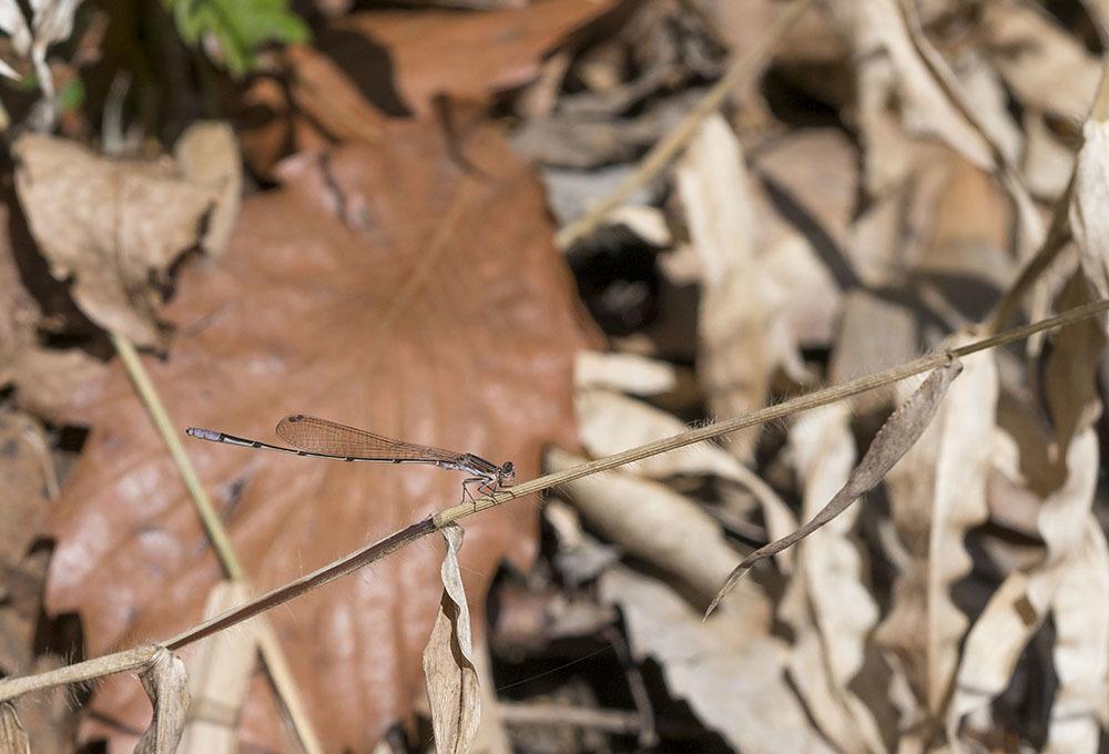 越冬トンボ観察-15 ホソミイトトンボ(平塚-1)過去見たことのなかった越冬場所_f0324026_21395680.jpg