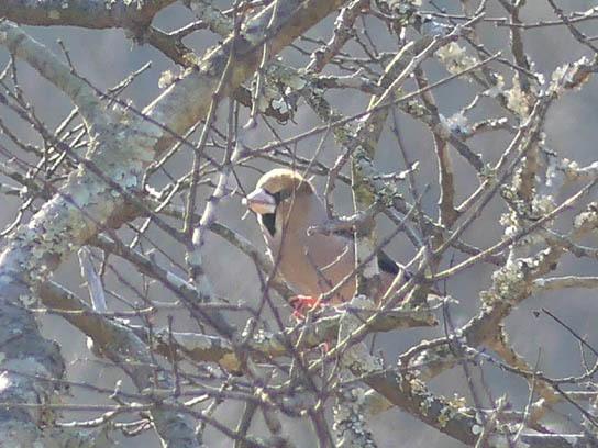北から来た野鳥、そして最近増えているもの_a0123836_16203427.jpg
