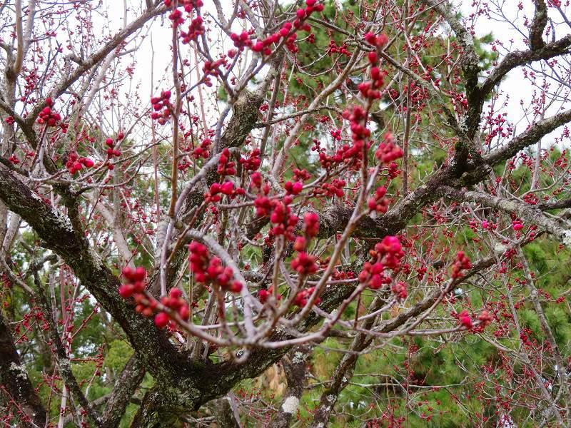 京都御苑咲き始めた「梅の花」20200118_e0237645_15353314.jpg