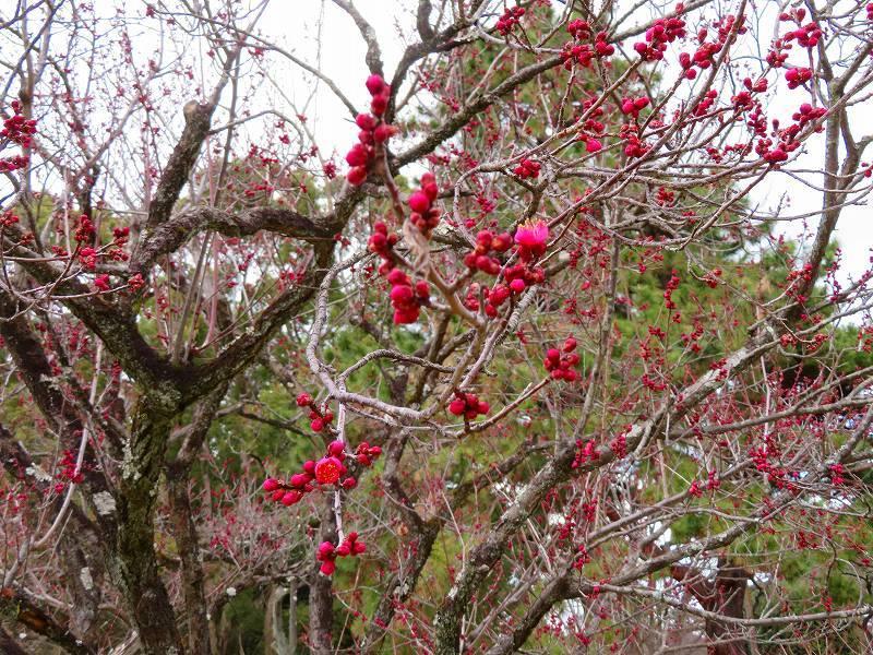 京都御苑咲き始めた「梅の花」20200118_e0237645_15353358.jpg