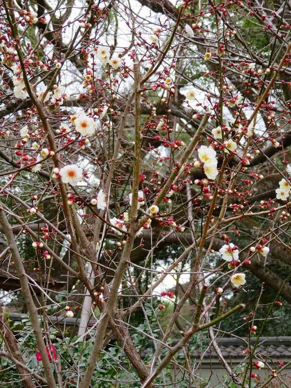 京都御苑咲き始めた「梅の花」20200118_e0237645_15353375.jpg