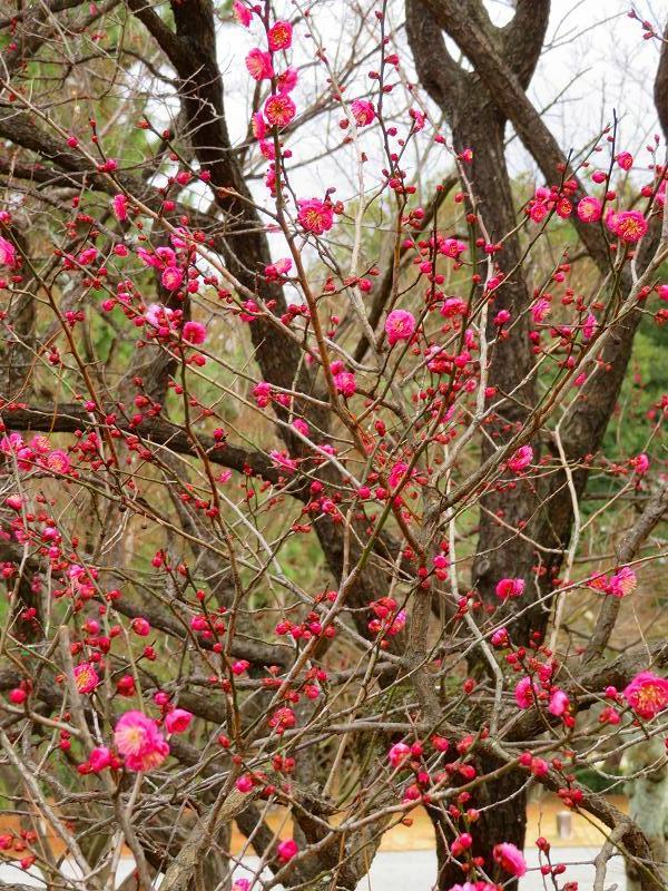 京都御苑咲き始めた「梅の花」20200118_e0237645_15353441.jpg