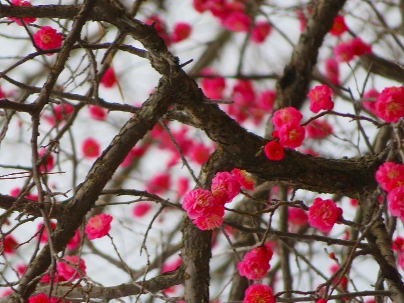 京都御苑咲き始めた「梅の花」20200118_e0237645_15353463.jpg
