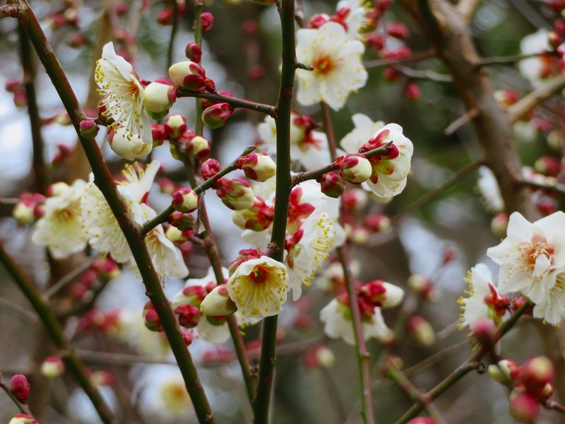 京都御苑咲き始めた「梅の花」20200118_e0237645_15353467.jpg