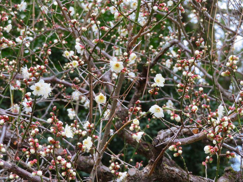 京都御苑咲き始めた「梅の花」20200118_e0237645_15385213.jpg