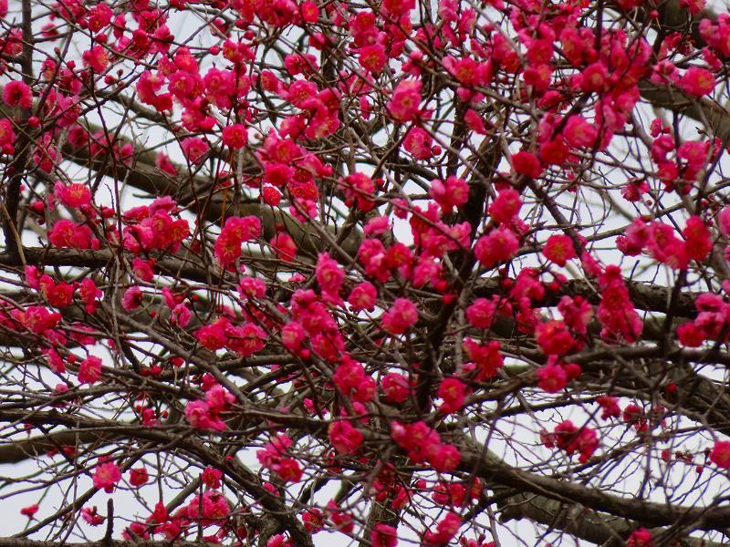 京都御苑咲き始めた「梅の花」20200118_e0237645_15385269.jpg