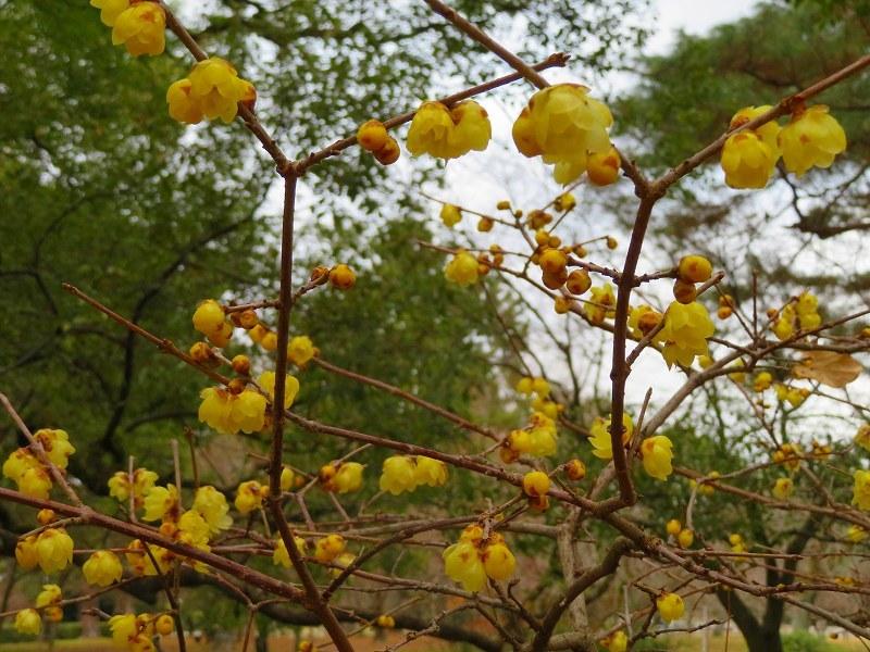 京都御苑の蝋梅の花20200118_e0237645_15474428.jpg