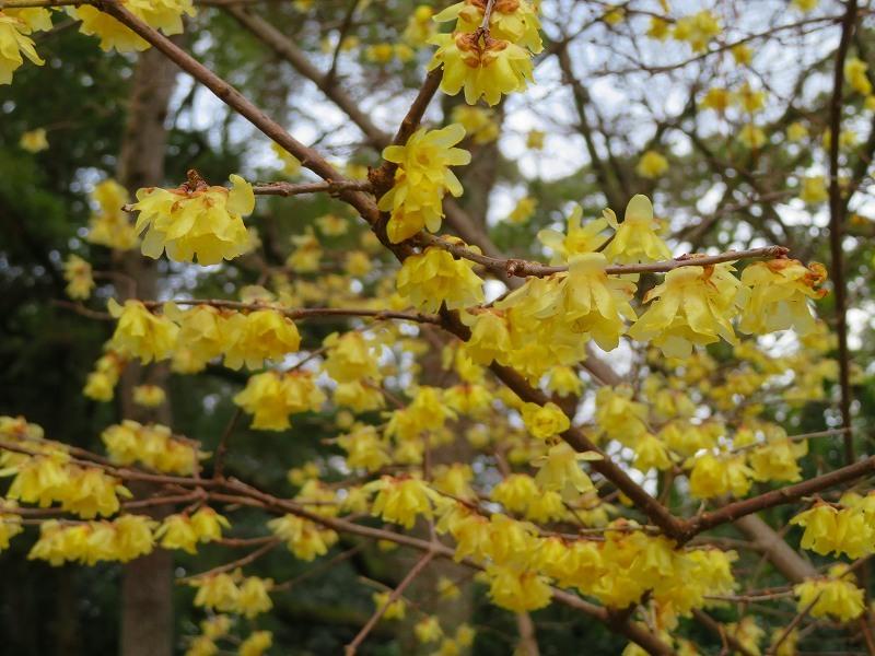 京都御苑の蝋梅の花20200118_e0237645_15474434.jpg
