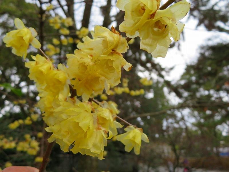 京都御苑の蝋梅の花20200118_e0237645_15474457.jpg