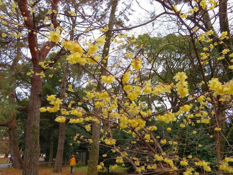 京都御苑の蝋梅の花20200118_e0237645_15474471.jpg
