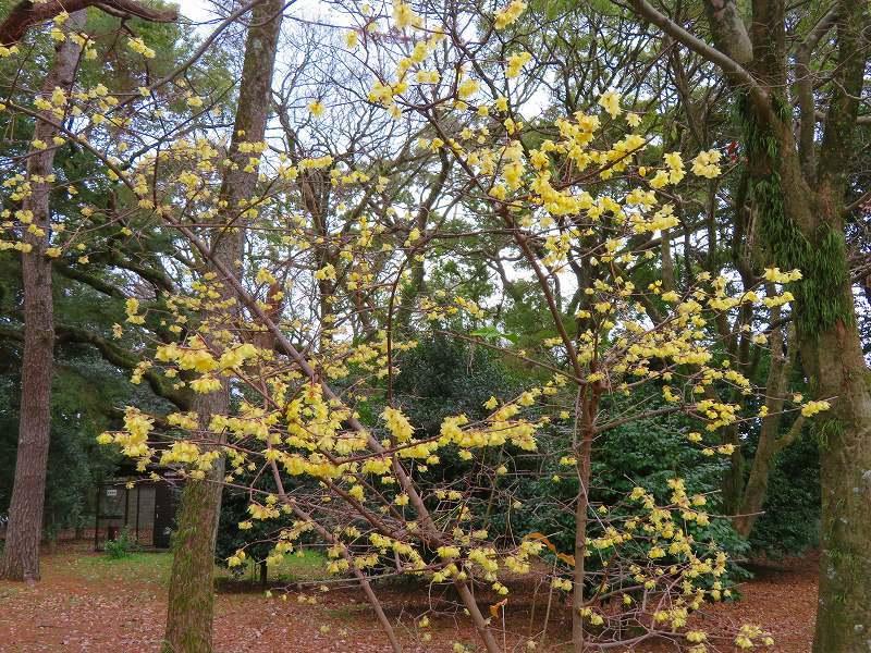 京都御苑の蝋梅の花20200118_e0237645_15474491.jpg