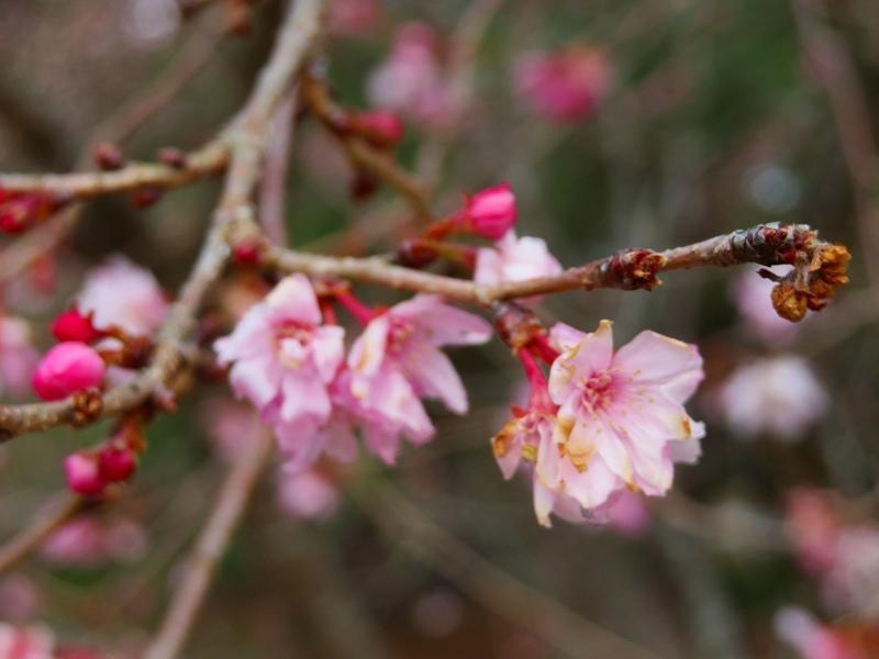 京都御苑の「寒桜が満開」20200118_e0237645_15535012.jpg