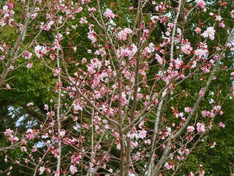 京都御苑の「寒桜が満開」20200118_e0237645_15535045.jpg