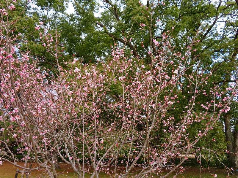 京都御苑の「寒桜が満開」20200118_e0237645_15535056.jpg