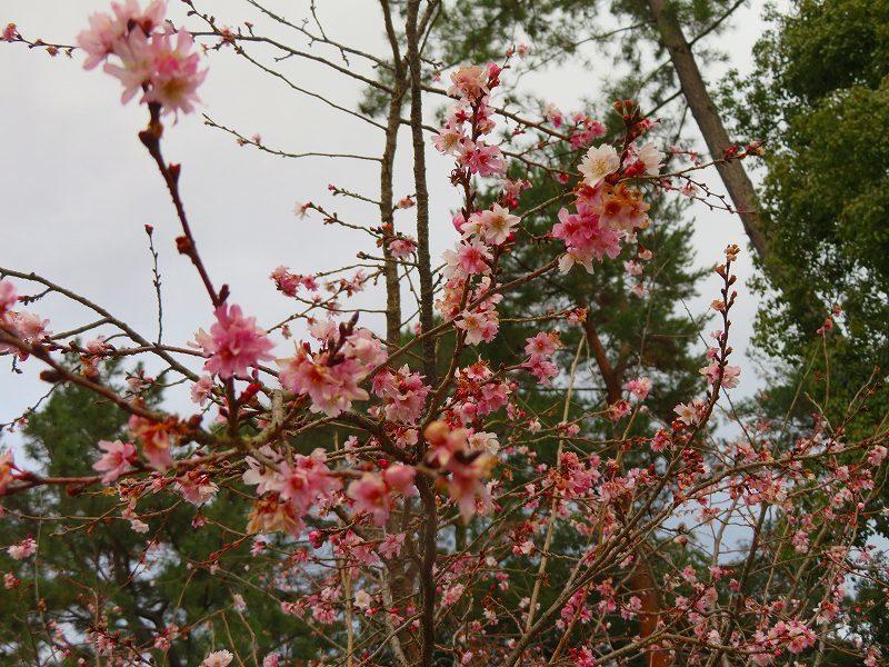 京都御苑の「寒桜が満開」20200118_e0237645_15535061.jpg