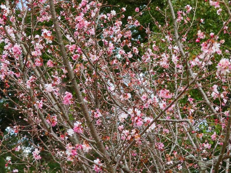 京都御苑の「寒桜が満開」20200118_e0237645_15535090.jpg