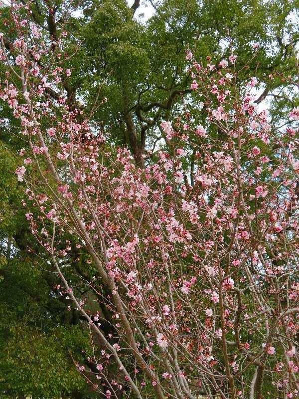 京都御苑の「寒桜が満開」20200118_e0237645_15543110.jpg