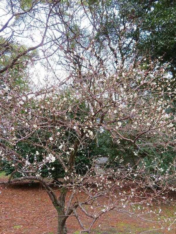 京都御苑の「寒桜が満開」20200118_e0237645_15543154.jpg