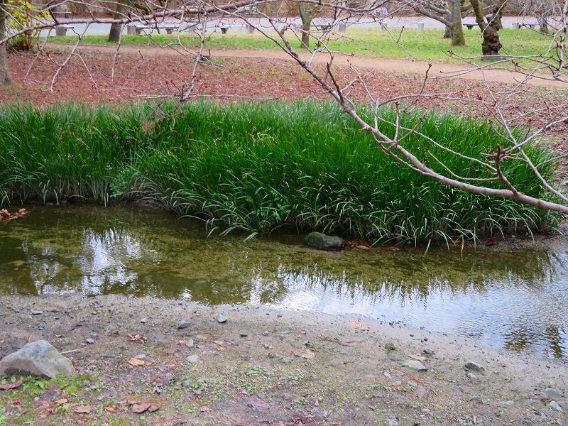 京都御苑「出水の小川」20200118_e0237645_16415018.jpg