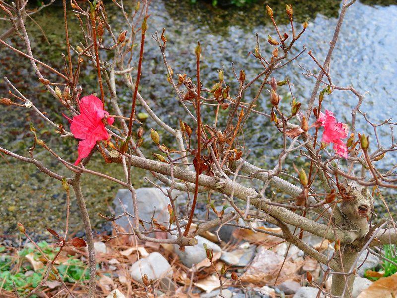 京都御苑「出水の小川」20200118_e0237645_16415072.jpg