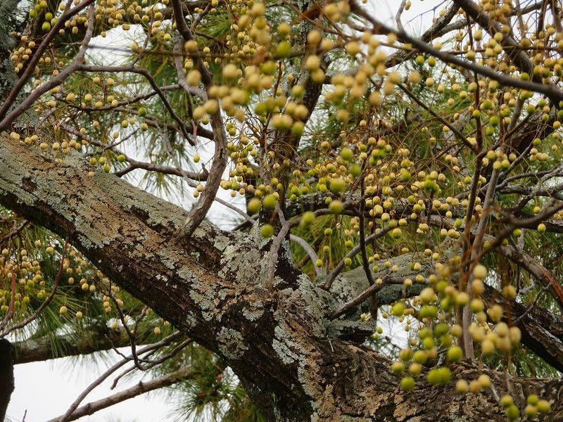 京都御苑の木々が危機に!20200118_e0237645_17042139.jpg