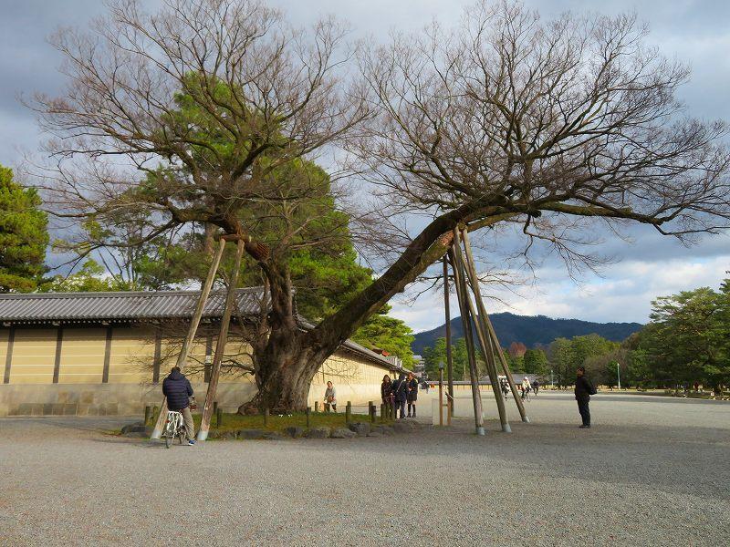 京都御苑の木々が危機に!20200118_e0237645_17042223.jpg