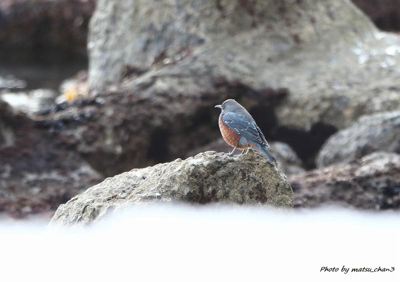 イソヒヨドリ Blue Rock-Thrush_c0070654_21063039.jpg