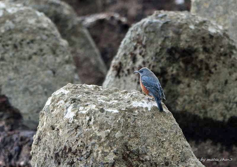 イソヒヨドリ Blue Rock-Thrush_c0070654_21064570.jpg