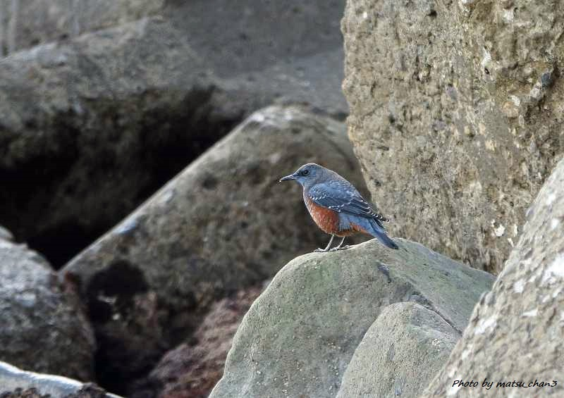 イソヒヨドリ Blue Rock-Thrush_c0070654_21070357.jpg