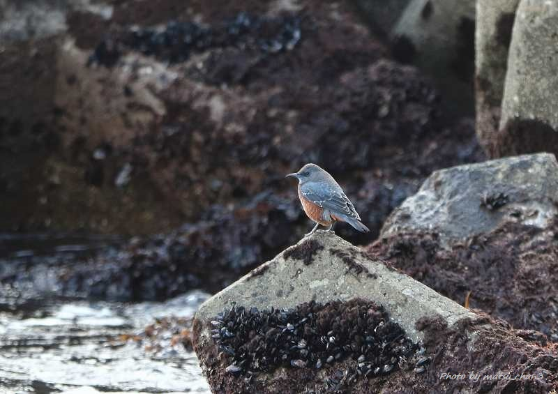 イソヒヨドリ Blue Rock-Thrush_c0070654_21071968.jpg