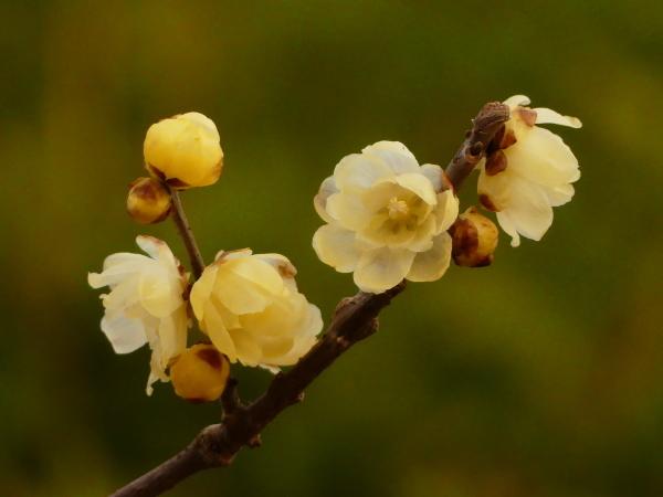 初春、梅開花!_a0351368_23500339.jpg