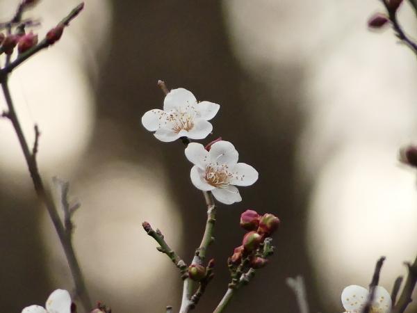 初春、梅開花!_a0351368_23503601.jpg