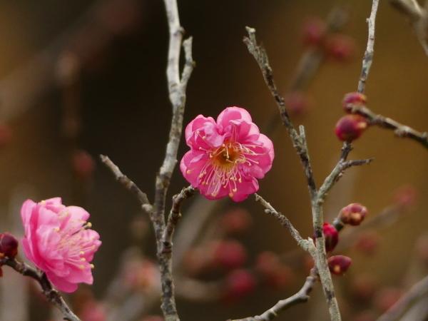 初春、梅開花!_a0351368_23504952.jpg