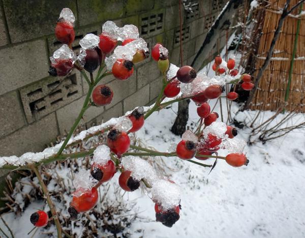 雪の少ない庭と猫部屋のシボリカタバミなど♪_a0136293_14472828.jpg