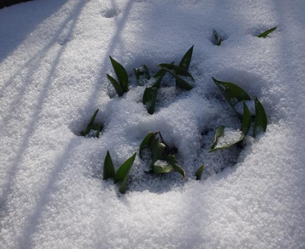 雪の少ない庭と猫部屋のシボリカタバミなど♪_a0136293_14495124.jpg