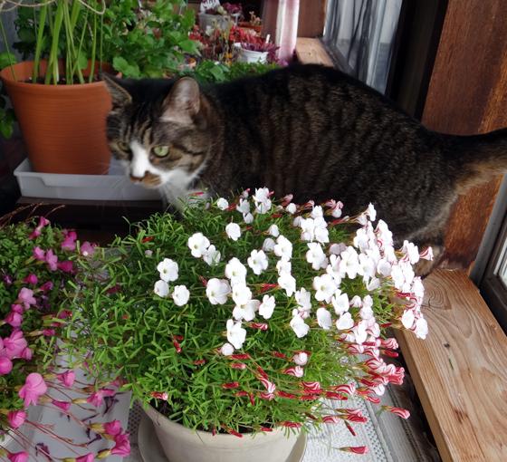 雪の少ない庭と猫部屋のシボリカタバミなど♪_a0136293_14540818.jpg