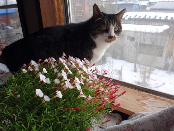 雪の少ない庭と猫部屋のシボリカタバミなど♪_a0136293_14555303.jpg