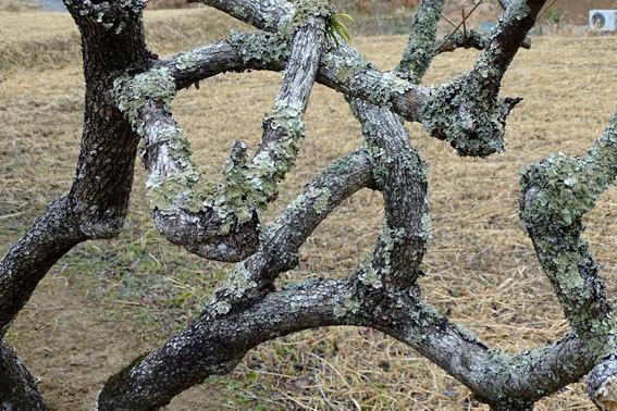 柿の木も寒い_b0145296_08024035.jpg