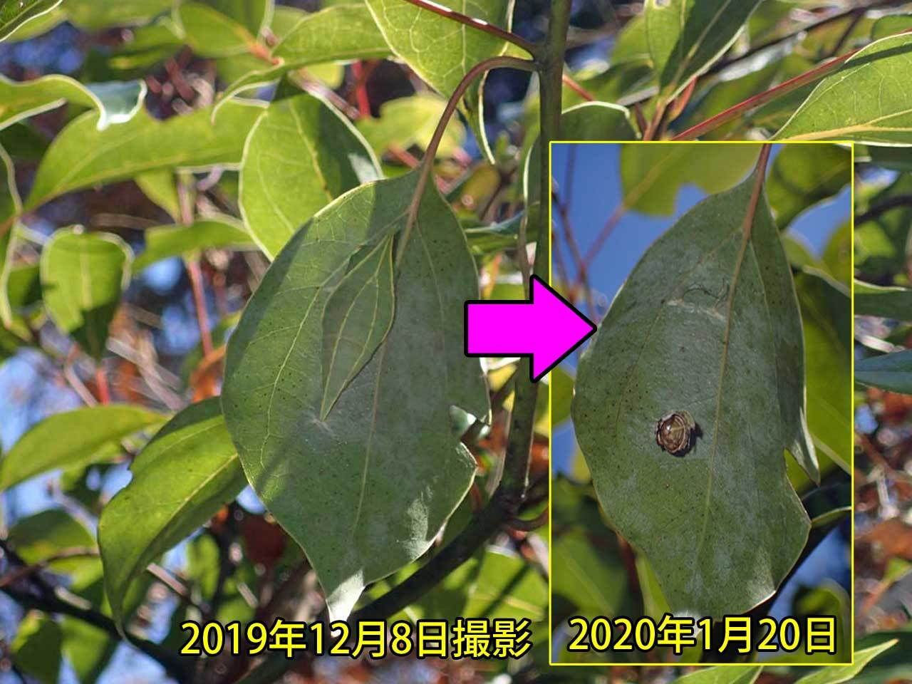 アオスジアゲハの越冬蛹捕食される_e0253104_16211209.jpg
