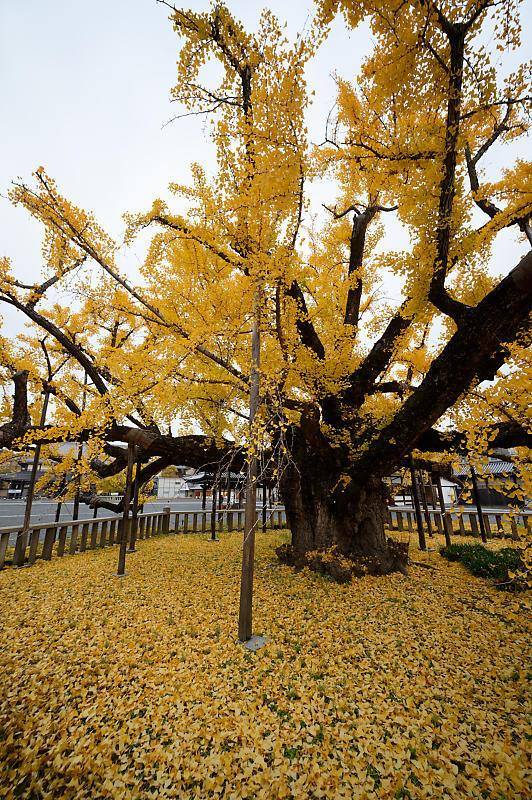 2019京都の紅葉・下京区 西本願寺_f0032011_19355092.jpg