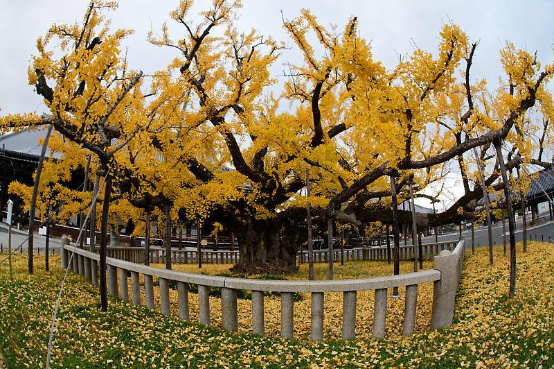 2019京都の紅葉・下京区 西本願寺_f0032011_19355154.jpg