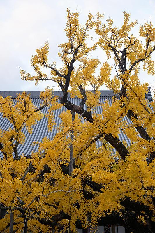 2019京都の紅葉・下京区 西本願寺_f0032011_19355258.jpg