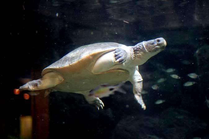 板橋区立熱帯環境植物館~大水槽の個性派たち:ボルネオカワガメ_b0355317_21470382.jpg