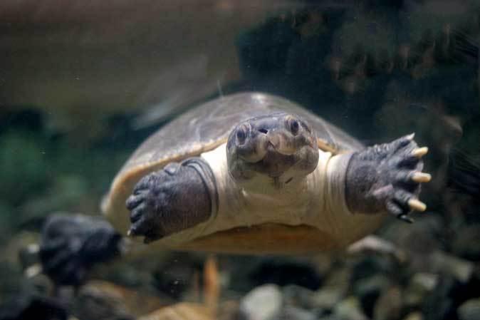 板橋区立熱帯環境植物館~大水槽の個性派たち:ボルネオカワガメ_b0355317_21474569.jpg