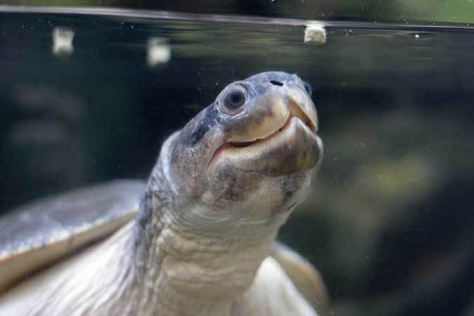 板橋区立熱帯環境植物館~大水槽の個性派たち:ボルネオカワガメ_b0355317_21552981.jpg