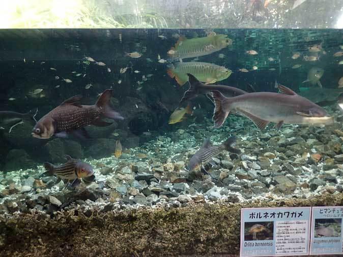 板橋区立熱帯環境植物館~大水槽の個性派たち:ボルネオカワガメ_b0355317_22035861.jpg