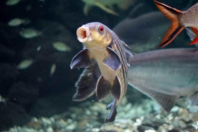 板橋区立熱帯環境植物館~大水槽の個性派たち:ボルネオカワガメ_b0355317_22063442.jpg