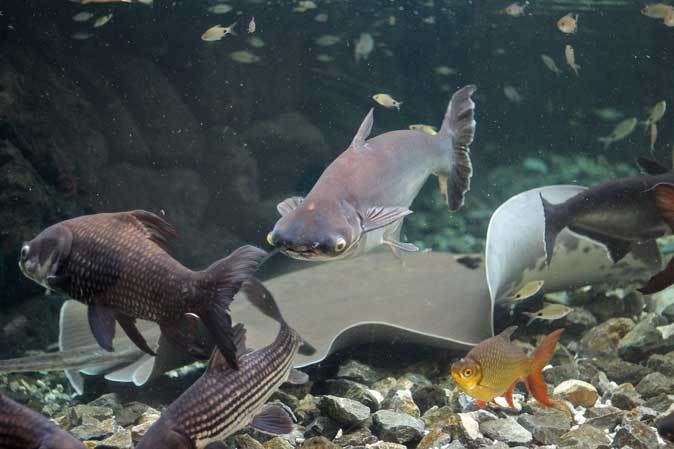 板橋区立熱帯環境植物館~大水槽の個性派たち:ボルネオカワガメ_b0355317_22083484.jpg