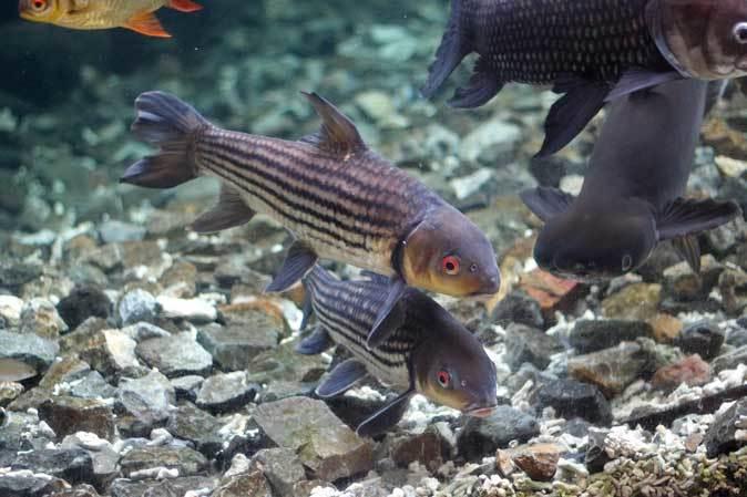 板橋区立熱帯環境植物館~大水槽の個性派たち:ボルネオカワガメ_b0355317_22085622.jpg