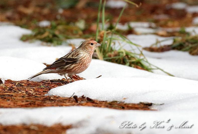 雪の中の「オオマシコ」さん♪ 水浴び動画も♪_e0218518_18183463.jpg